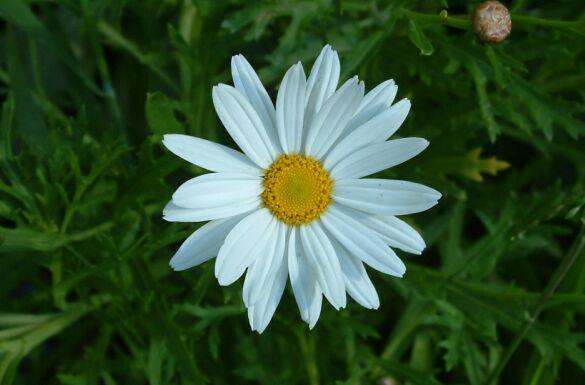 Marguerite-Daisy-Flower
