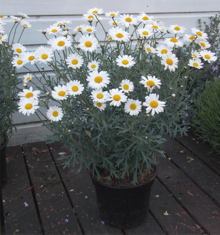 Marguerite-Daisy-growing-on-pot