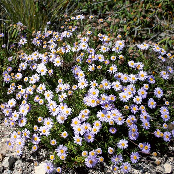 Marguerite-Daisy-growing-wild