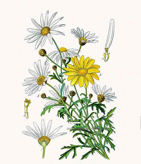 Plant-Illustration-of-Marguerite-Daisy