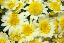 Other-Variety-of-Daisy