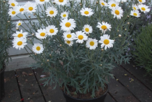 Marguerite-Daisy-growing-on-pot
