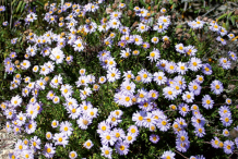 Marguerite-Daisy-growing-wild