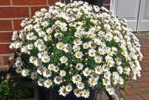 Marguerite-daisy--plant