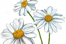 Sketch-of-Marguerite-Daisy