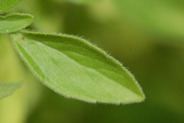 Dorsal-view-of-leaf-of-Marjoram