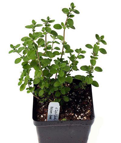 Marjoram-plant-grown-on-pot