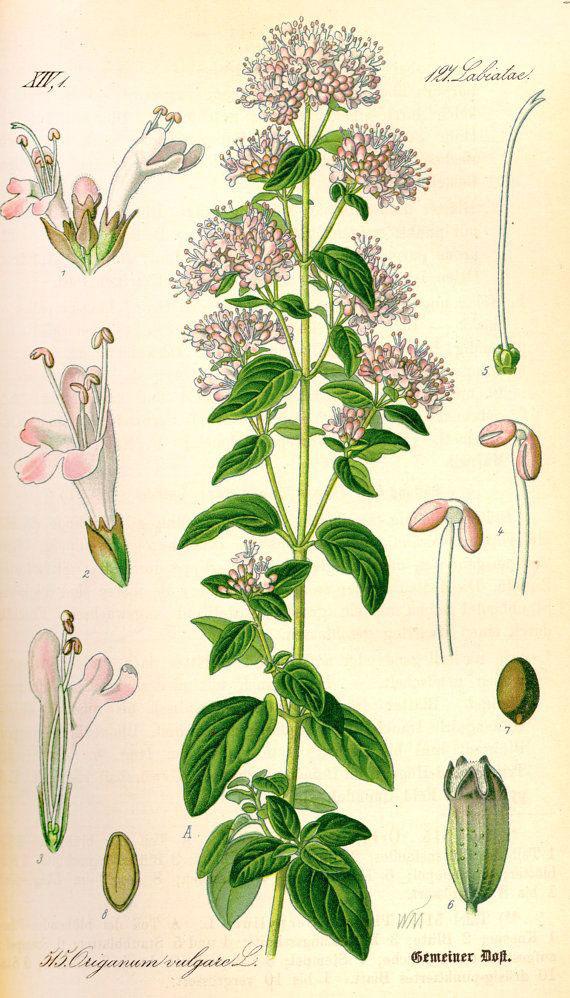 Plant-illustration-of-Marjoram