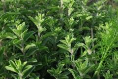 Marjoram-Plant