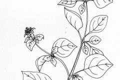 Sketch-of-Marjoram