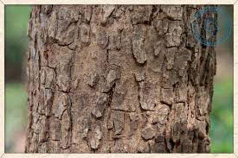 Bark-of-Marking-Nut