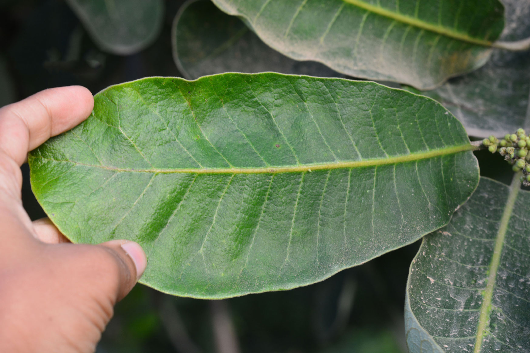 Leaves-of-Marking-Nut
