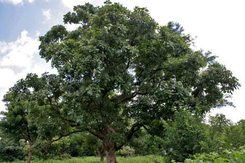 Marking-Nut-tree
