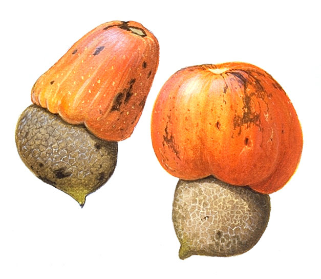 Mature-fruits-of-Marking-Nut