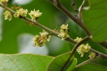 Flowers-of-Marking-Nut
