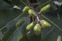 Unripe-fruits-of-Marking-Nut