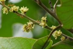 Flowers-of-Marking-Nut