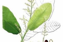 Plant-Illustration-of-Marking-Nut