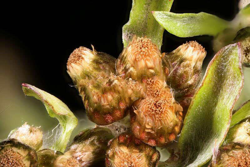 Closer-view-of-flower-of-Marsh-Cudweed
