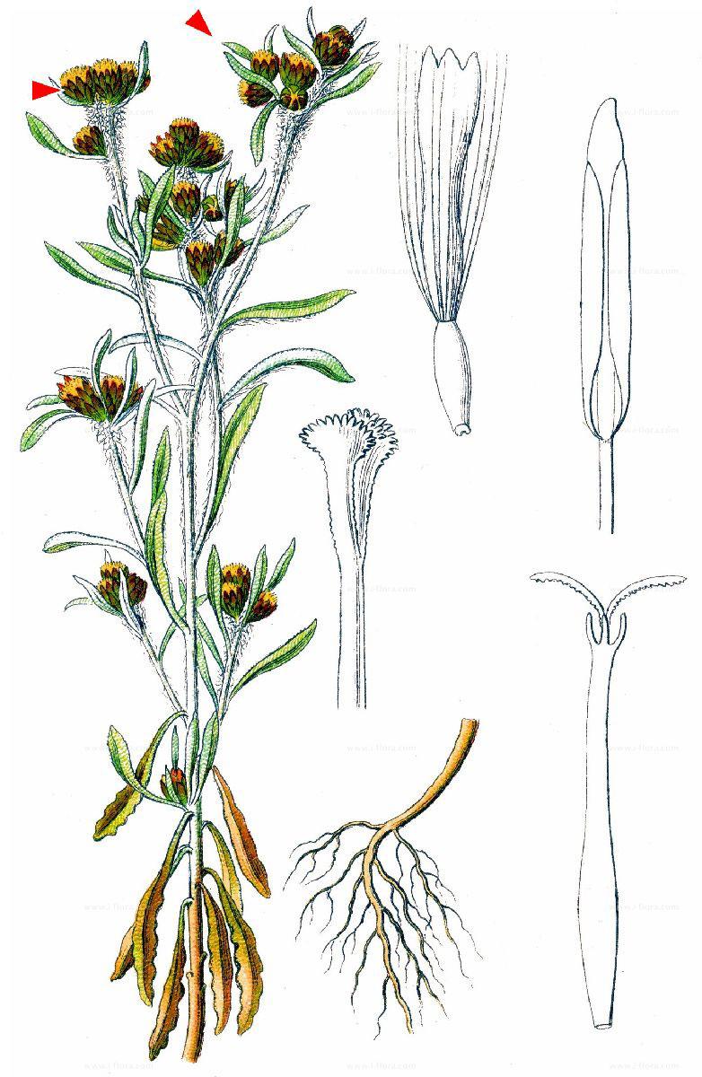 Plant-Illustration-of-Marsh-Cudweed