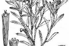 Sketch-of-Marsh-Cudweed