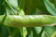 Immature-fruits-of-Marsh-Pea-plant