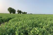 Marsh-Pea-plant-farming