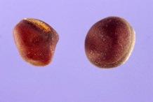 Seeds-of-Marsh-Pea-plant