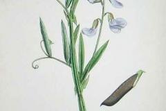 Plant-Illustration-of-Marsh-Pea