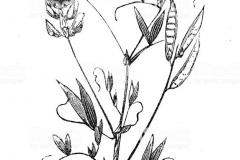 Sketch-of-Marsh-Pea
