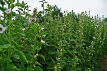 Marshmallow-bushes