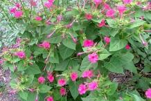 Marvel-of-Peru-plant