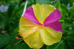 Closer-view-of-flower-of-Marvel-of-Peru