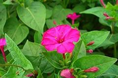 Flower-of-Marvel-of-Peru