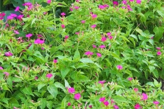 Marvel-of-Peru-Plant-growing-wild