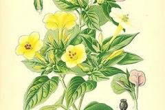 Plant-illustration-of-Marvel-of-Peru