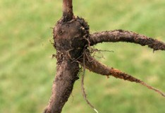 Root-of-Marvel-of-Peru