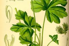 Plant-illustration-of-Maryland-Sanicle