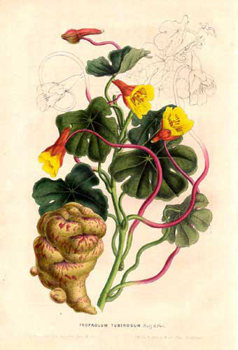 Illustration-of-Mashua-plant