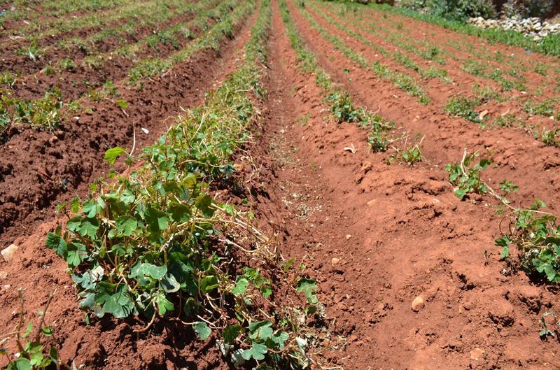 Mashua-farm