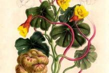 Illustration-of-Mashua-plant