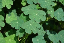 Leaves of Mashua
