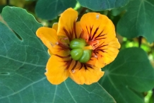 Mashua-close-up-flower