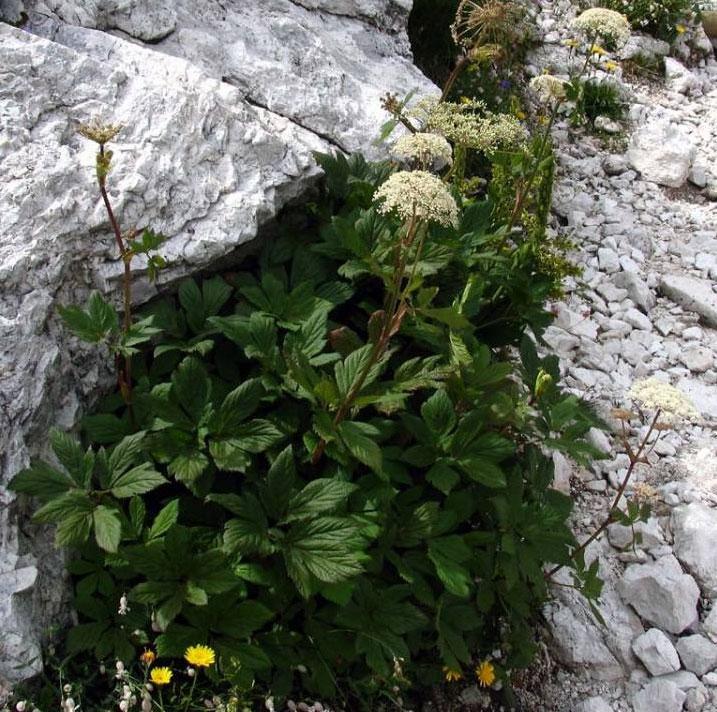 Masterwort-plant-growing-wild