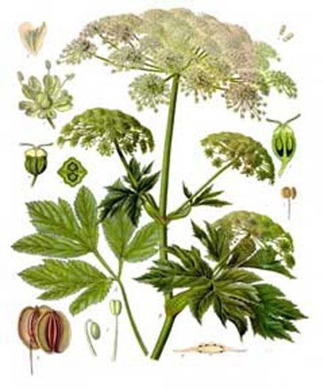 Plant-Illustration-of-Masterwort