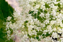 Closer-view-of-flowers-of-Masterwort