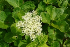 Flower-of-Masterwort