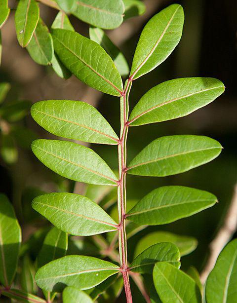 Leaves-of-Mastic-gum-tree