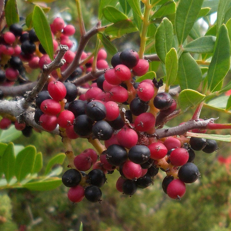 Mature-and-Immature-fruits-of-Mastic-gum-tree