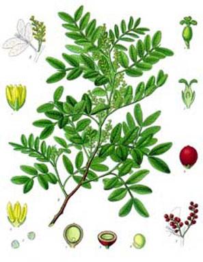 Plant-illustration-of-Mastic-gum-tree